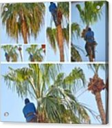Trimming The Palm Trees Acrylic Print