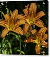 Trio Of Orange Tiger Lilies Acrylic Print