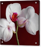 Trio Of Orchids Acrylic Print