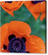 Trio Of Poppies Acrylic Print