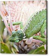 Trioceros Jacksonii - Jackson's Chameleon - Maui Hawaii Acrylic Print