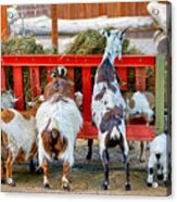 Trip Of Goats At Feeding Time Acrylic Print
