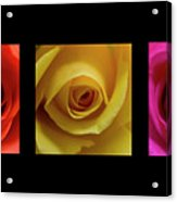 Triptych Roses Acrylic Print