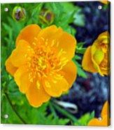 Trollius Blossom Acrylic Print