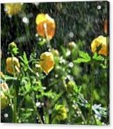 Trollius Europaeus Spring Flowers In The Rain Acrylic Print