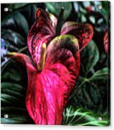 Anthurium Red Tropical Flower Acrylic Print