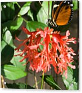 Tropical Butterfly On Flower Acrylic Print
