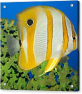 Tropical Fish Butterflyfish. Acrylic Print