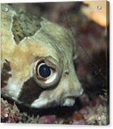 Tropical Fish Porcupinefish  Acrylic Print