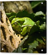 Tropical Green Frog Acrylic Print