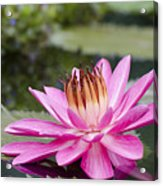 Tropical Night Flowering Water Lily Rose De Noche II Acrylic Print