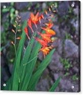 Tropical Orange Lily Acrylic Print