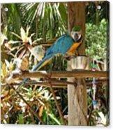 Tropical Parrot Acrylic Print