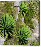 Agave Plants On Rocky Slope Acrylic Print