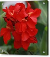 Tropical Red Canna Lilly Acrylic Print