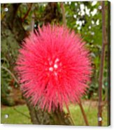Tropical Red Puff Acrylic Print
