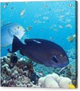 Tropical Reef Fish Acrylic Print