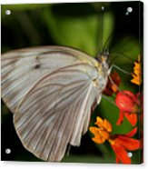 Tropical White Butterfly Acrylic Print by April Wietrecki Green