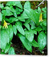 Trout Lily Panorama  Acrylic Print
