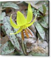 Trout Lily Wildflower - Erythronium Americanum Acrylic Print