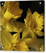 Trumpet Daffodils Acrylic Print