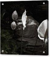 Trumpet Flower Acrylic Print
