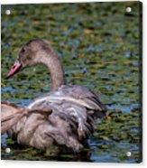 Trumpeter Swan Foot Wave Acrylic Print