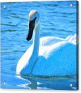 Trumpeter Swan Impressions Acrylic Print