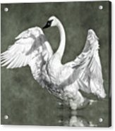 Trumpeter Swan In The Fog Acrylic Print