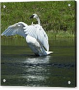 Trumpeter Swan On The Madison River Acrylic Print
