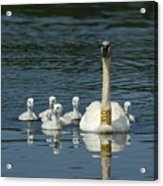 Trumpeter Swan With Cygnets Acrylic Print