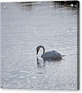 Trumpeter Swan Yellowstone Acrylic Print
