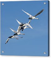 Trumpeter Swans Flying Acrylic Print