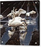 Trumpeter Swans In Bow Acrylic Print