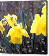 Trumpets Of Spring Acrylic Print