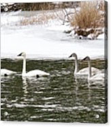 Trumpter Swans Panorama Acrylic Print
