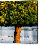Trying To Get My Ducks In A Row. Acrylic Print