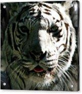 Tryptic Tiger Acrylic Print