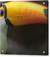 Tucan 01 Acrylic Print