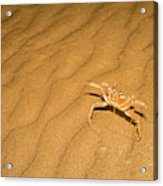tufted ghost crab Ocypode cursor on sand Acrylic Print