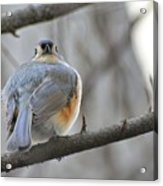 Tufted Titmouse 02 Acrylic Print