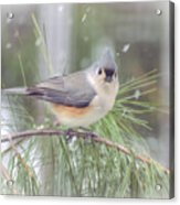 Tufted Titmouse - A Winter Delight Acrylic Print