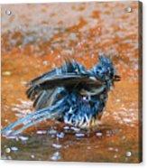 Tufted Titmouse Bath Acrylic Print