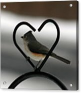 Tufted Titmouse In A Heart Acrylic Print