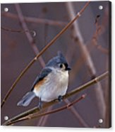 Tufted Titmouse In Winter Acrylic Print