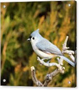 Tufted Titmouse On A Branch Acrylic Print