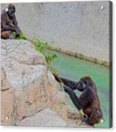 Tug-o-war Western Gorillas Acrylic Print