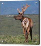 Tule Elk Bull Bugling Acrylic Print