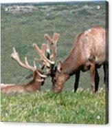 Tule Elk Bull Grazing In Meadow Acrylic Print