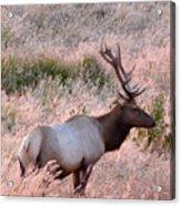Tule Elk Bull In Grassland Meadow Acrylic Print